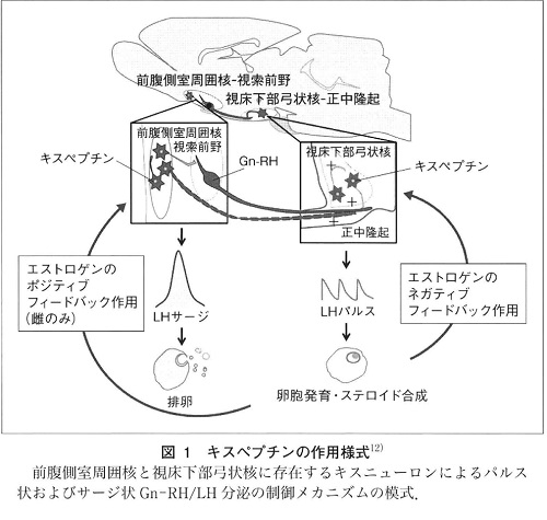 キスペプチンの作用の図.jpg