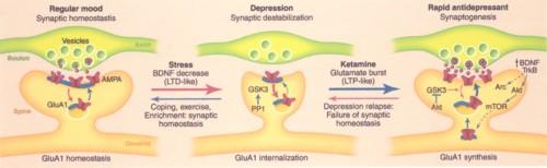 ケタミンによるシナプス増加の図.jpg