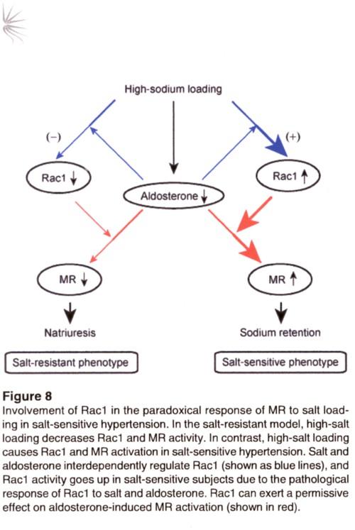 食塩感受性とrac1 の図.jpg
