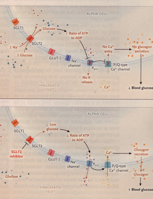 SGLT2阻害剤のα細胞作用の図.jpg