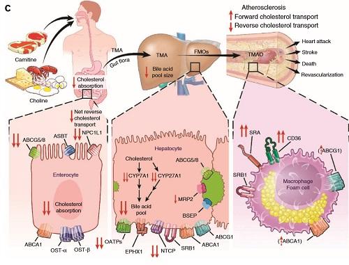 コレステロール代謝と肉摂取の図.jpg