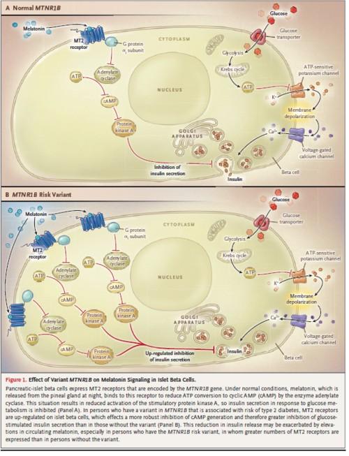 メラトニン受容体の変異と糖尿病の図.jpg